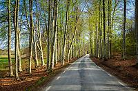 Bokar i lövsprickningen vid slingrande väg