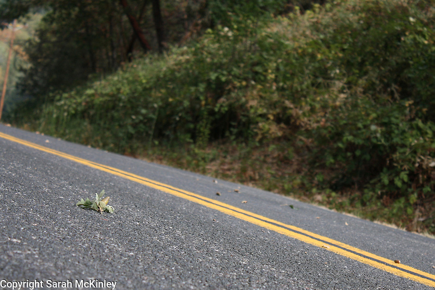 An oak twig with an acorn in the road on Reynold's Highway outside of Willits in Mendocino County in Northern California.