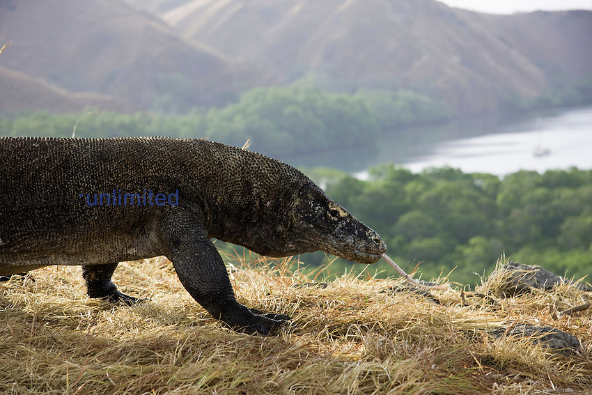 Komodo Dragons (Varanus komodoensis) are the world's largest lizards. Rinca Island, Komodo National Park, Indonesia.