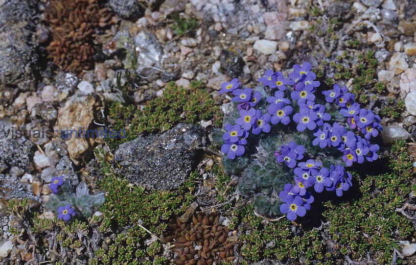 Alpine Forget-Me-Not flowers ,Eritrichum nanum, on the alpine tundra in the Rocky Mountains, Colorado, USA.