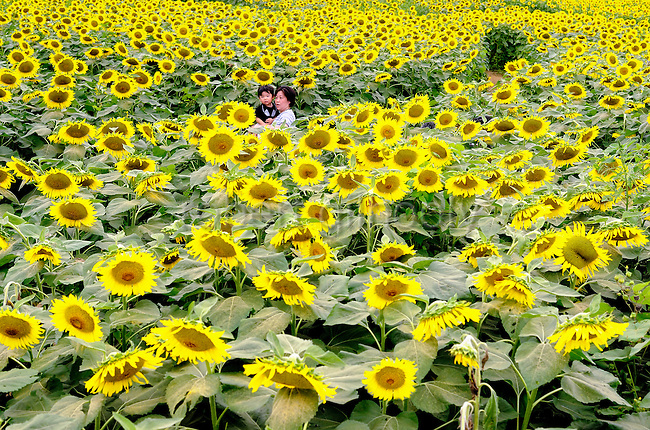 A mother and child take a walk through a field of sunflowers in Kanagawa, west of Tokyo, Japan on Aug. 21 2009.