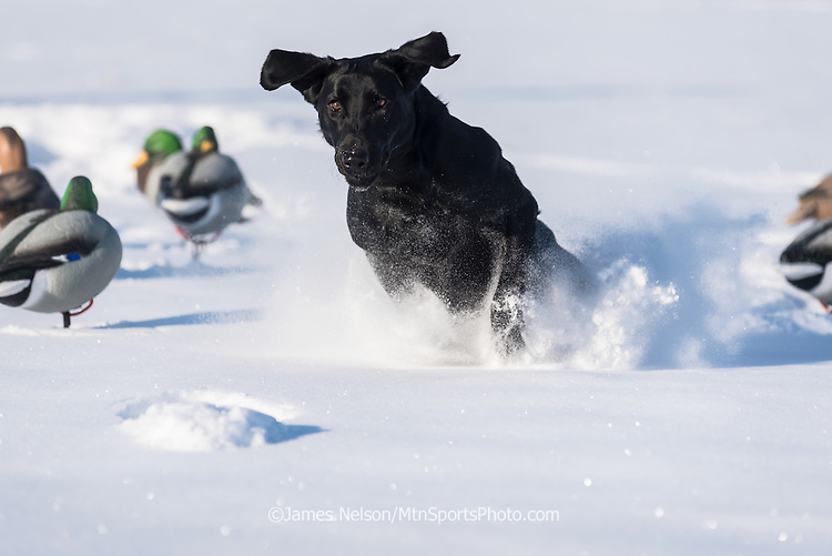 A black Laborador retriever runs through decoys to retrieve a duck during a winter waterfowl hunt in Idaho.