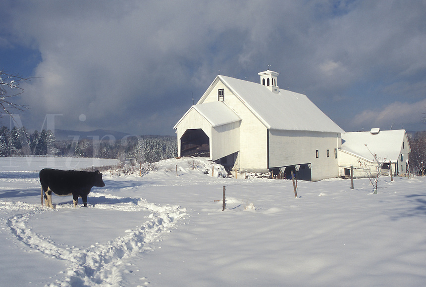 AJ4632, farm, winter scene, Vermont, Cow stands out in a field of snow at Templeton Farm in East Montpelier on a winter day in Washington County in the state of Vermont.