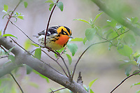 Blackburnian Warbler (Setophaga fusca), male in breeding plumage, a spring migrant to Magee Marsh in Oak Harbor, Ohio foraging.