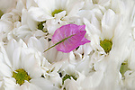 A pink flower petal on a bed of white flowers.