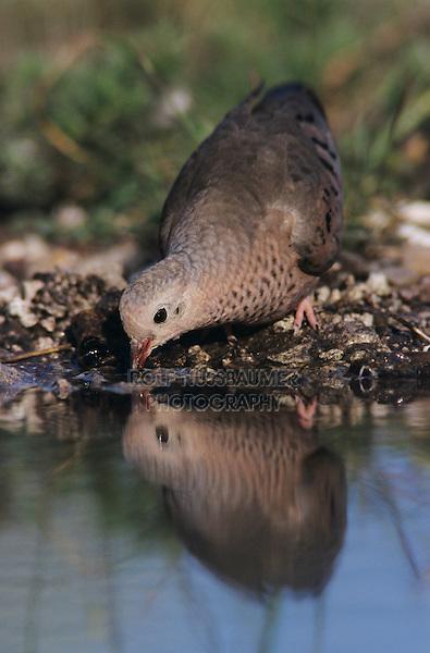 Common Ground-Dove, Columbina passerina, adult drinking, Lake Corpus Christi, Texas, USA, May 2003