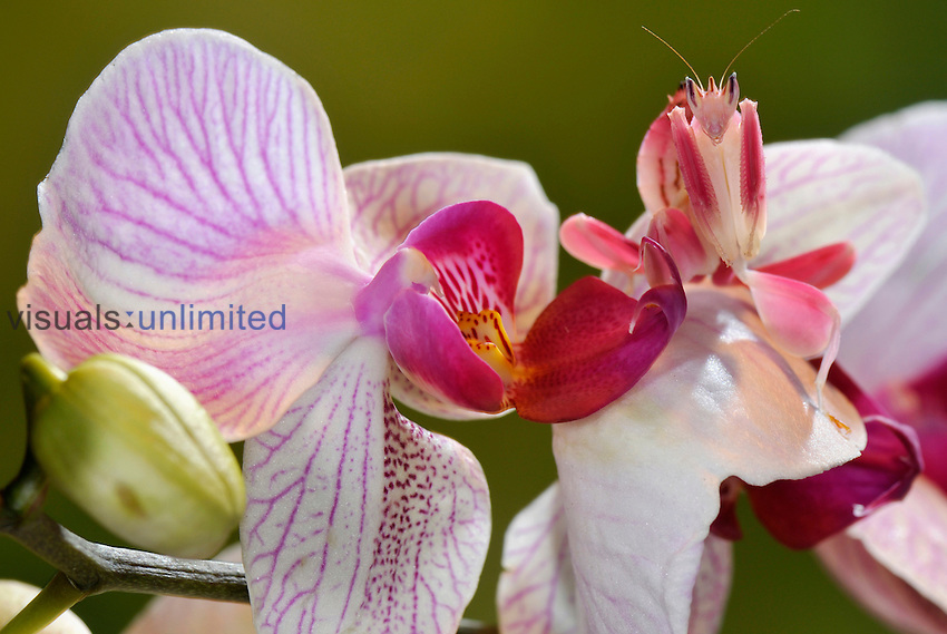 Orchid mantis, Hymenopus coronatus, juvenile on orchis. One of the most perfect camouflage in the animal world. Indonesia