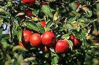 Apfel, Apfelbaum, Äpfel, Kultur-Apfel, Malus domestica, Apple, Obstbaum