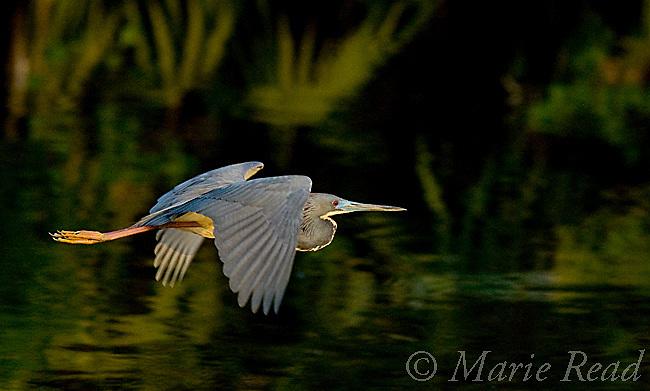 Tricolored Heron (Egretta tricolor) in flight, Orlando, Florida, USA