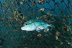 A fish caught in a discarded fishing net, Scolopsis temporalis, Lembeh Strait, North Sulawesi, Indonesia, Pacific Ocean