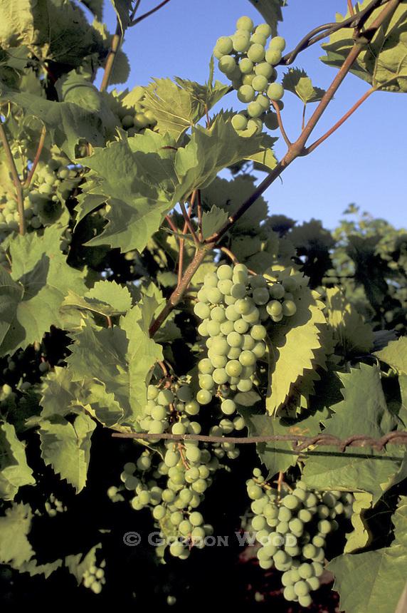 Niagara Peninsula Grapevines