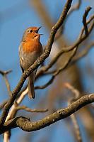 Rotkehlchen singend auf Baum, Erithacus rubecula, robin