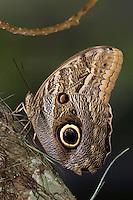Eyespots on Owl Butterfly, Caligo idomenius
