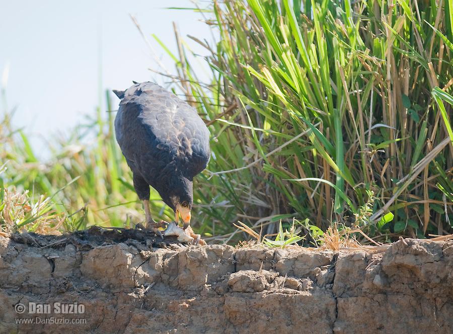 Common black hawk, Buteogallus anthracinus, eating a lizard. Tarcoles River, Costa Rica