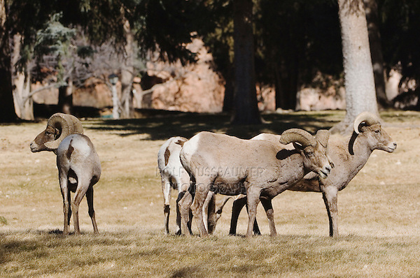 Bighorn Sheep, Mountain Sheep, Ovis canadensis, males, Garden of The Gods National Landmark, Colorado Springs, Colorado, USA, February 2006