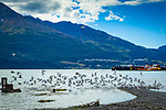 Group of seagulls flying near surface of Port Valdez, Old Valdez townsite, Valdez, Southcentral Alaska, Summer.