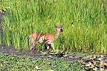 Deer seen on the creekside of the Esopus Bend Nature Preserve in Saugerties,NY, on Thursday, August 10, 2017. Photo by Jim Peppler. Copyright/Jim Peppler-2017.