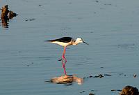 Black-winged stilt, common stilt, or pied stilt (Himantopus himantopus) is a widely distributed very long-legged wader in the avocet and stilt family (Recurvirostridae). Bundala National Park - Sri Lanka.