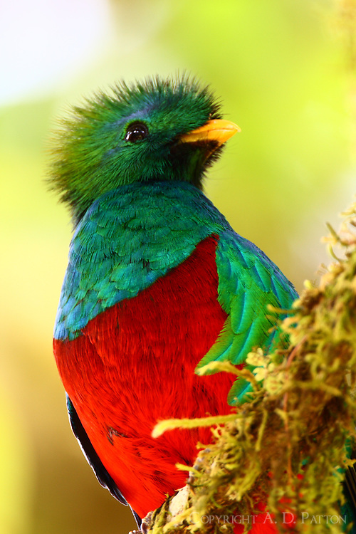 Male resplendent quetzal. This gorgeous bird popped up right beside me and posed for as long as I wanted. I discovered later that I was right beside the bird's nesting tree along the Savegre River in the highlands of Costa Rica. A never-to-be-forgotten birding experience.