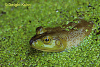 FR03-005b  Bullfrog - adult in duckweed pond - Lithobates catesbeiana, formerly Rana catesbeiana