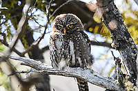 Austral Pygmy Owls are found in southern Chile and Argentina and are, as their name suggest, tiny owls with a height of 7-10 inches.