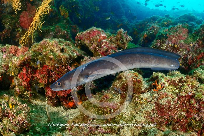 Conger conger, Meeraal im Korallenriff, European conger or sea eel in Coralreef, Sveta Marina, Labin, Istrien, Kroatien