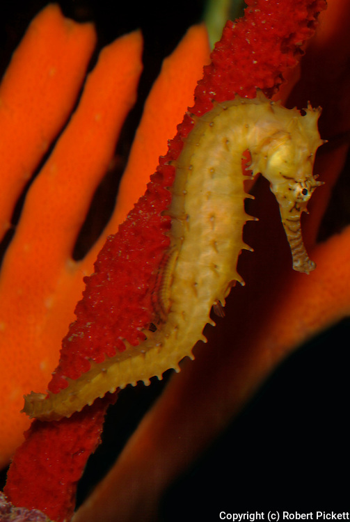 Barbour s Sea Horse, Hippocampus barboun, Phillipines Indonesia, captive.Indonesia....