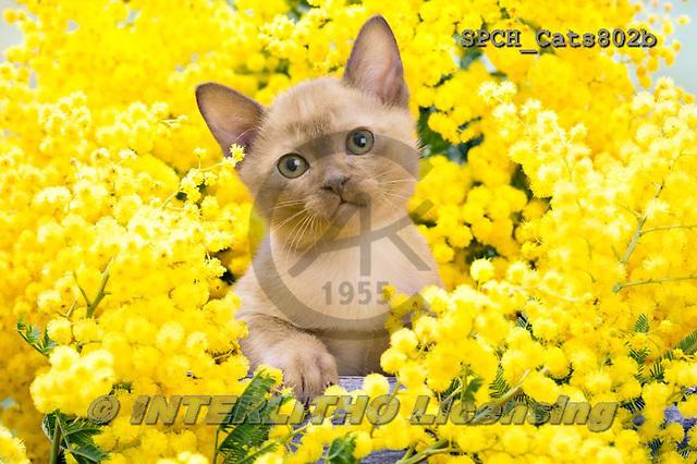 Xavier, ANIMALS, REALISTISCHE TIERE, ANIMALES REALISTICOS, cats, photos+++++,SPCHCATS802B,#a#