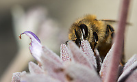 A honeybee gets nectar from a purple sage flower.
