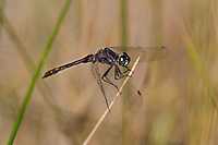 362690007 a wild male black meadowhawk sympetrum danae perches on a stick near de chambeau ponds in mono county california united states