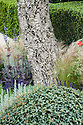 Trunk of cork oak (Quercus suber) with Mexican feather grass (Stipa tenuissima) and salvias (Salvia 'Madelaine', Salvia x sylvestris). Arthritis Research UK Garden, designed by Thomas Hoblyn, RHS Chelsea Flower Show 2012.
