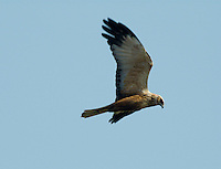 Marsh Harrier Circus aeruginosus. Wingspan 110-125cm.Graceful wetland raptor. Adult male is mostly reddish brown with blue-grey head and grey tail. In flight, note patches of grey and reddish brown on wings, and black wingtips. Adult female is mainly dark brown with pale leading edge to wings and pale cap and chin. Tail is reddish brown. Juvenile is similar to an adult female but tail is dark brown. Voice – mainly silent. Status and habitat – Commonest in summer months, but some birds are present year-round. Usually seen in flight over marshes and reedbeds. Easiest to see in East Anglia.