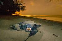 leatherback sea turtle, Dermochelys coriacea, female, with shark bite wound, nesting and laying eggs, at night, Grand Riviere, Trinidad, Trinidad and Tobago, Caribbean Sea, Atlantic Ocean
