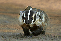 607520005 a wild american badger taxidea taxus walking in an open field on a private ranch near tilden texas