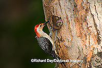 01196-033.04 Red-bellied Woodpecker (Melanerpes carolinus) male feeding nestling at nest cavity, Marion Co.