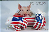 Interlitho, Alberto, ANIMALS, pigs, photos, pig, boxing gloves(KL15193,#A#) Schweine, cerdos