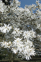 Loebner's Magnolia Magnolia x loebneri Height to 8m. Hybrid evergreen shrub or small tree. Leaves are oval and fresh green. Flowers open on bare branches and have pinkish white petals arranged in star shape.