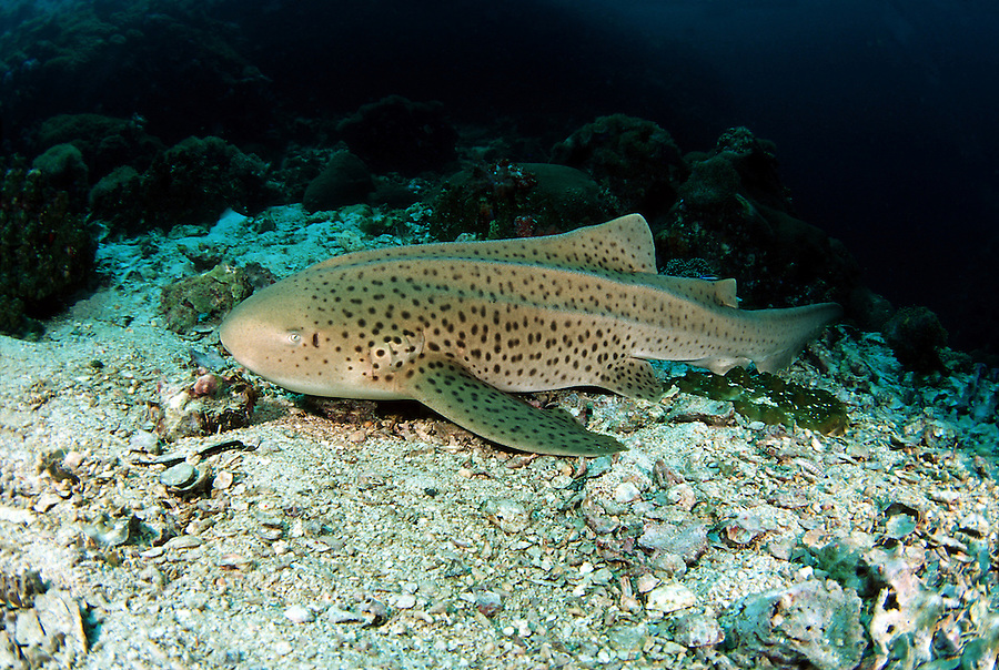 A member of the small group of sharks that can rest for short periods without moving, this leopard (zebra) shark, Stegostoma fasciatum, was photographed while taking a brief respite on the bottom.  Thailand.