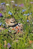 Horned Lark or Shore Lark (Eremophila alpestris) nest--female feeding young.  Western U.S., Summer.