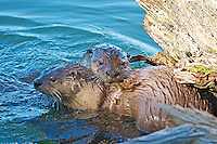River Otters, Trout Lake, Yellowstone National Park, breeding pair,