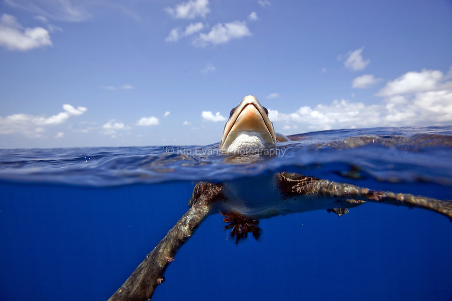 A split water view of a rare Ridley Sea Turtle at the Cocos Island off the coast of Costa Rica.