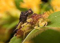 Pennsylvania Ambush Bug; Phymata pennsylvanica; mating pair femaile has prey; PA, Hickory Run State Park
