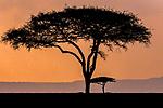 Masai Mara National Reserve, Kenya, umbrella thorn