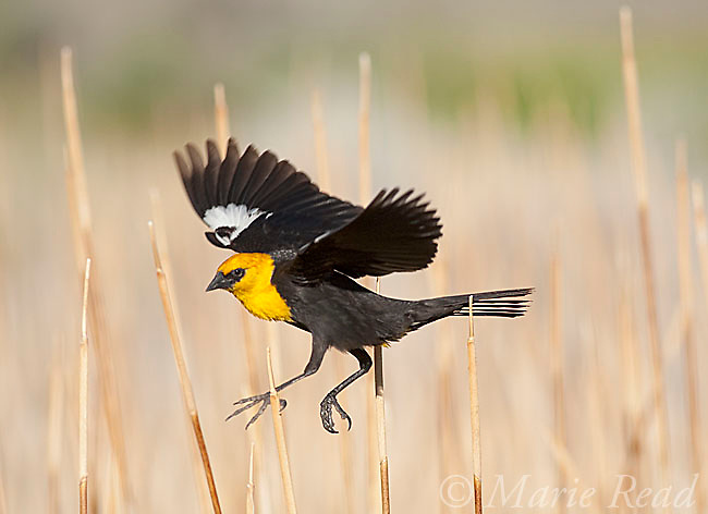 Yellow-headed Blackbird (Xanthocephalus xanthocephalus), male taking flight in cattail marsh, Mono Lake Basin, California, USA