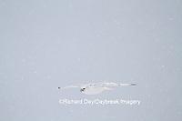 00817-00616 Gyrfalcon (Falco rusticolus) white phase in flight in snow Churchill Wildlife Management Area Churchill MB