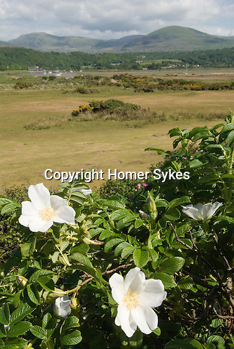 Wild Roses in sand dunes at Llandanwg, Gwynedd North Wales UK. Snowdonia National Park in distance.