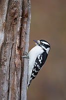 Adult female Downy Woodpecker (Picoides pubescens). Tompkins Couty, New York. November.
