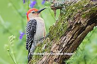 01196-03417 Red-bellied Woodpecker (Melanerpes carolinus) male in flower garden, Marion County, IL