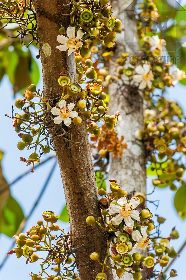 Tronco florido de Goiaba de Anta, planta nativa cuja casca faz o tingimento preto das fibras de Arum&atilde; | Flowery trunk of Bellucia Grossularioides, native plant whose bark does the black dyeing of the Arum&atilde; fibers<br /> <br /> LOCAL: Novo Air&atilde;o, Amazonas, Brasil <br /> DATE: 01/2009 <br /> &copy;Du Zuppani