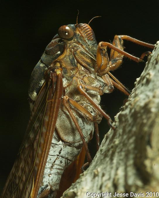 A Morning Cicada.